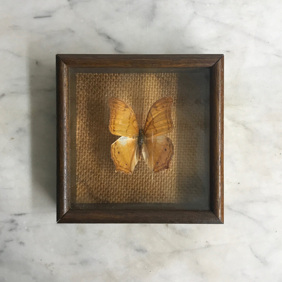 Small Vintage Butterfly Taxidermy #14