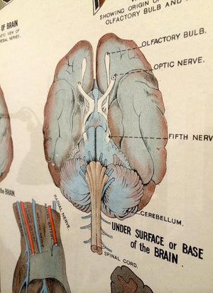 Vintage Framed Elementary Physiology Anatomical Chart 'No.3 Brain'