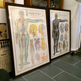 Vintage Framed Elementary Physiology Anatomical Chart 'No.4 Circulation'