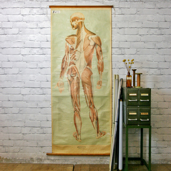Vintage Human Muscular System (Posterior) Anatomy Chart
