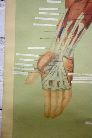 Vintage Human Muscular System (Anterior) Anatomy Chart