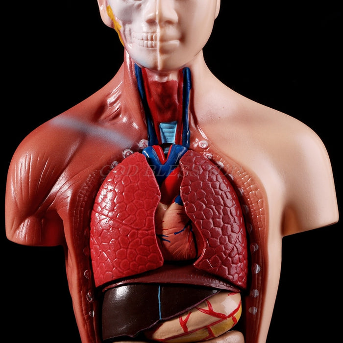 Educational Human Body Anatomy Model - beyondtheinfinity.com