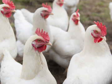 Two Million Chickens To Be Slaughtered Due To Lack of Workers