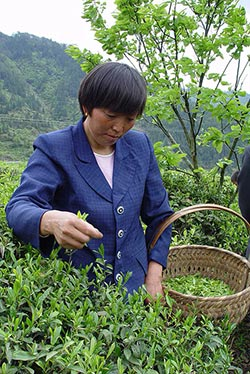 A Qi tea picker