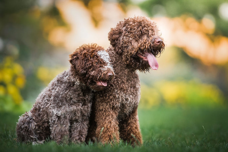 Eleven Perfect Hypoallergenic Dog Breeds!