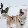 Happy husky dogsled snowdog