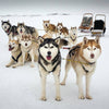 Huskies dogsled snowdogs Iceland