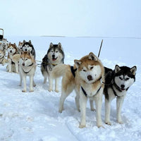 Huskies dogsled snow snowdogs iceland