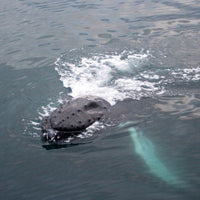 Whale watching in Iceland day tours