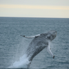 Whale tours in Iceland day tours