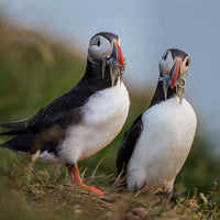 close up puffin tour iceland