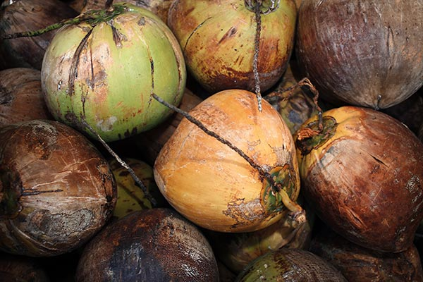 Fresh coconut from Maui