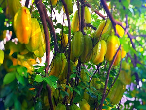Fruit Orchard with Starfruits on the tree.