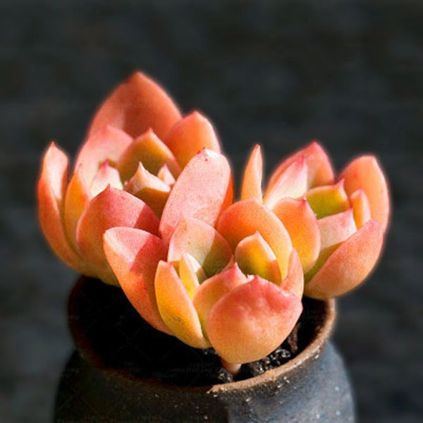 100 Pcs/Pack Red Succulent Seeds Home Garden DIY Potted Flower Seed Ornamental Plants