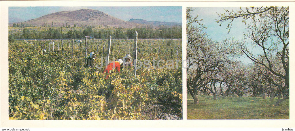 Vineyards in Ararat valley - apricots are blooming - 1981 - Armenia USSR - unused - JH Postcards