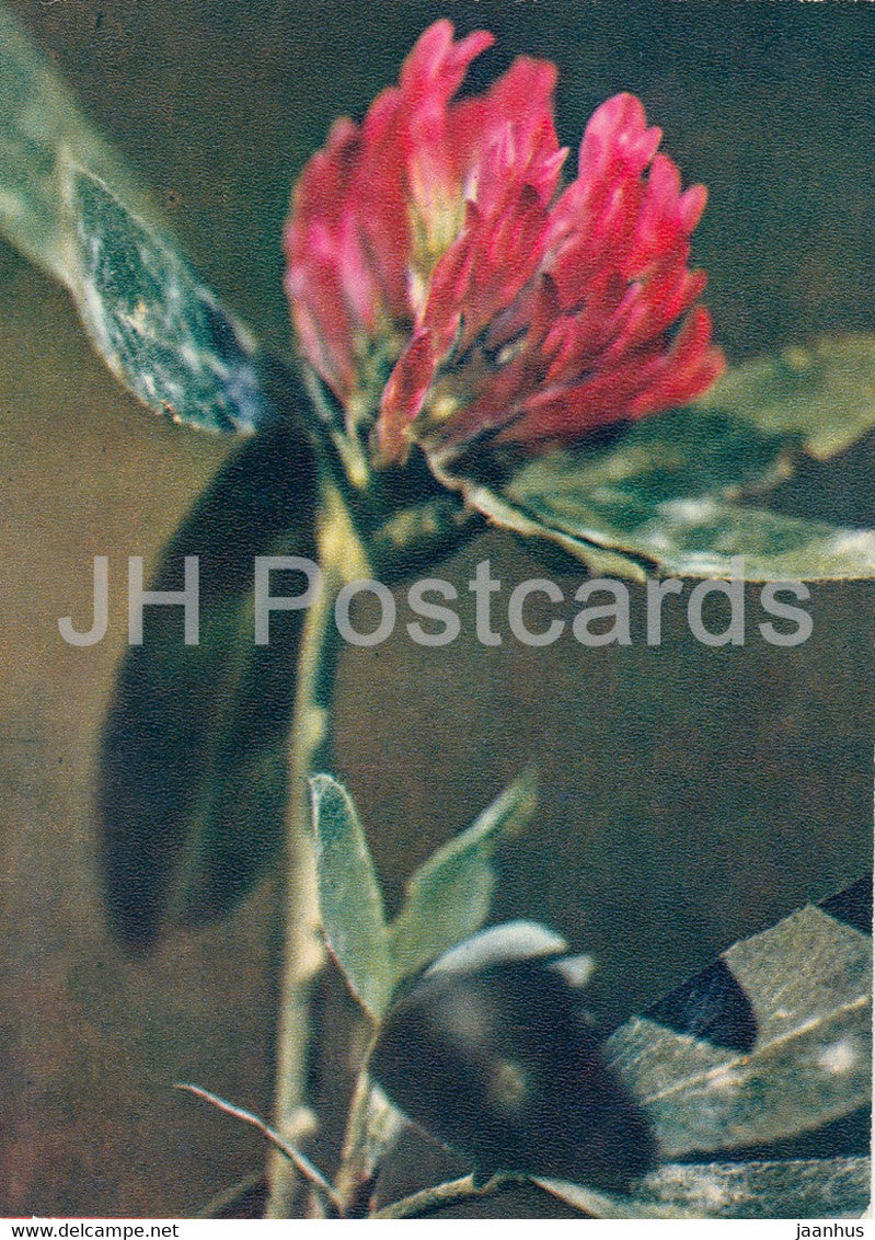 Zigzag clover - Trifolium medium - plants - 1971 - Russia USSR - unused - JH Postcards