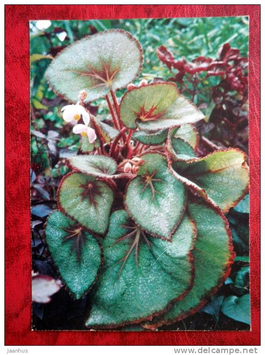 Painted-leaf Begonia - Begonia rex Putz - flowers - 1987 - Russia - USSR - unused - JH Postcards