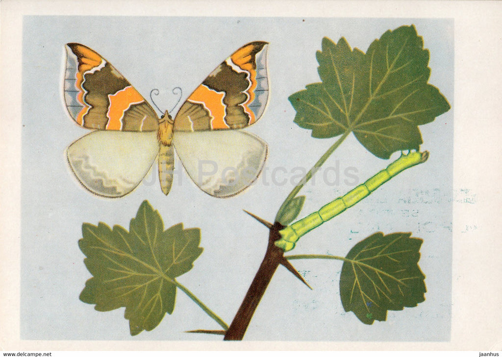 Nacinek Plomieniak - Eulithis pyropata - Lygris pyropata - moth - insects - illustration - Poland - unused - JH Postcards