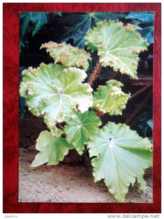 Begonia manicata - flowers - 1987 - Russia - USSR - unused - JH Postcards
