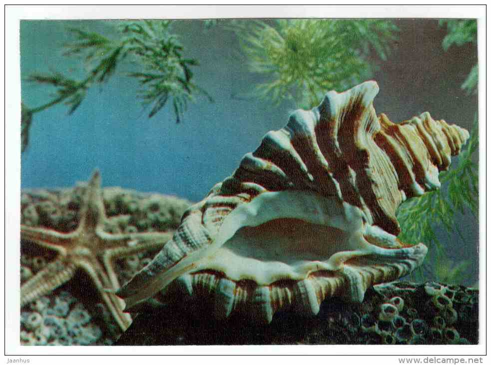 Cymatium Femorale - shells - clams - mollusc - 1974 - Russia USSR - unused - JH Postcards