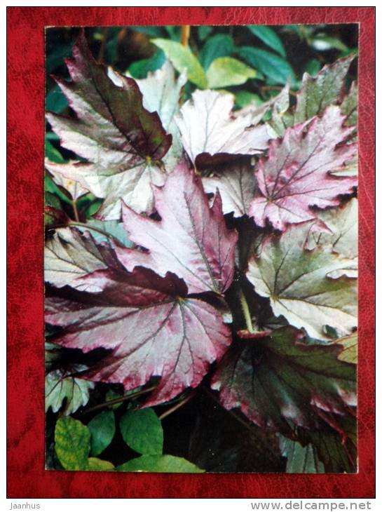 Kupferkönigin - Begonia Diadema - flowers - 1987 - Russia - USSR - unused - JH Postcards
