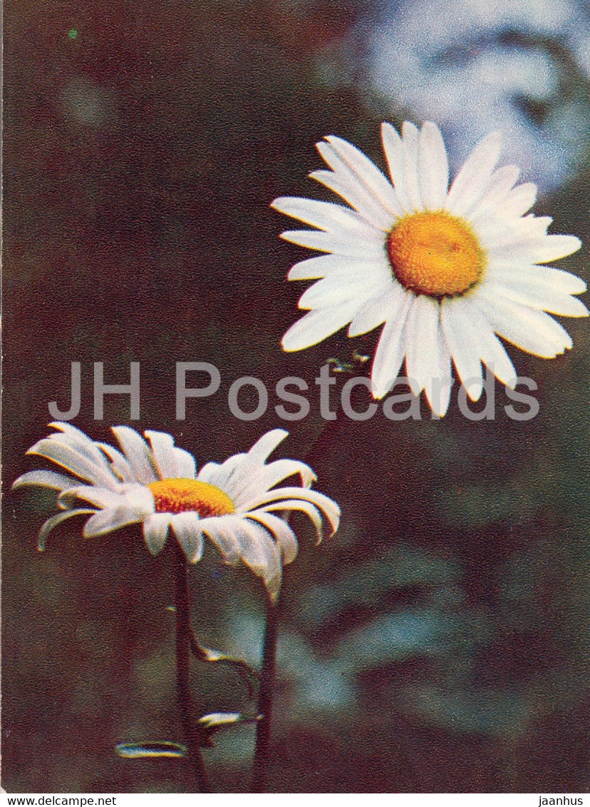 Oxeye daisy - Leucanthemum vulgare - plants - flowers - 1971 - Russia USSR - unused - JH Postcards