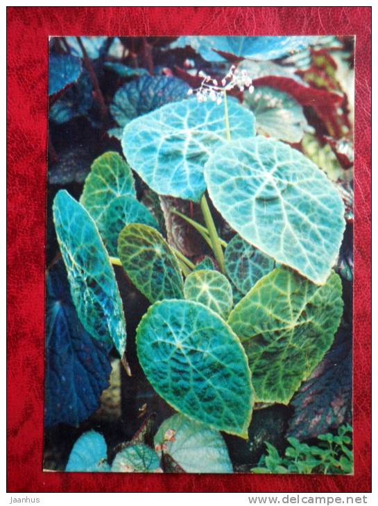 Fire King Begonia - Begonia goegoensis - flowers - 1987 - Russia - USSR - unused - JH Postcards