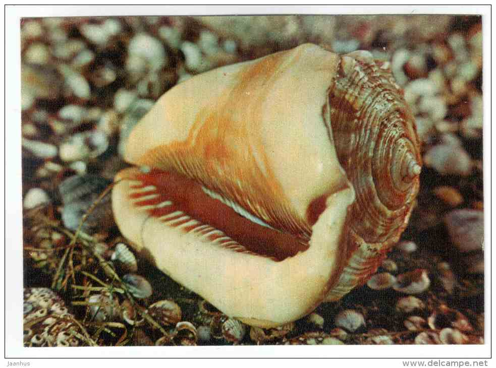Bullmouth - Cypraecassis rufa - shells - clams - mollusc - 1974 - Russia USSR - unused - JH Postcards