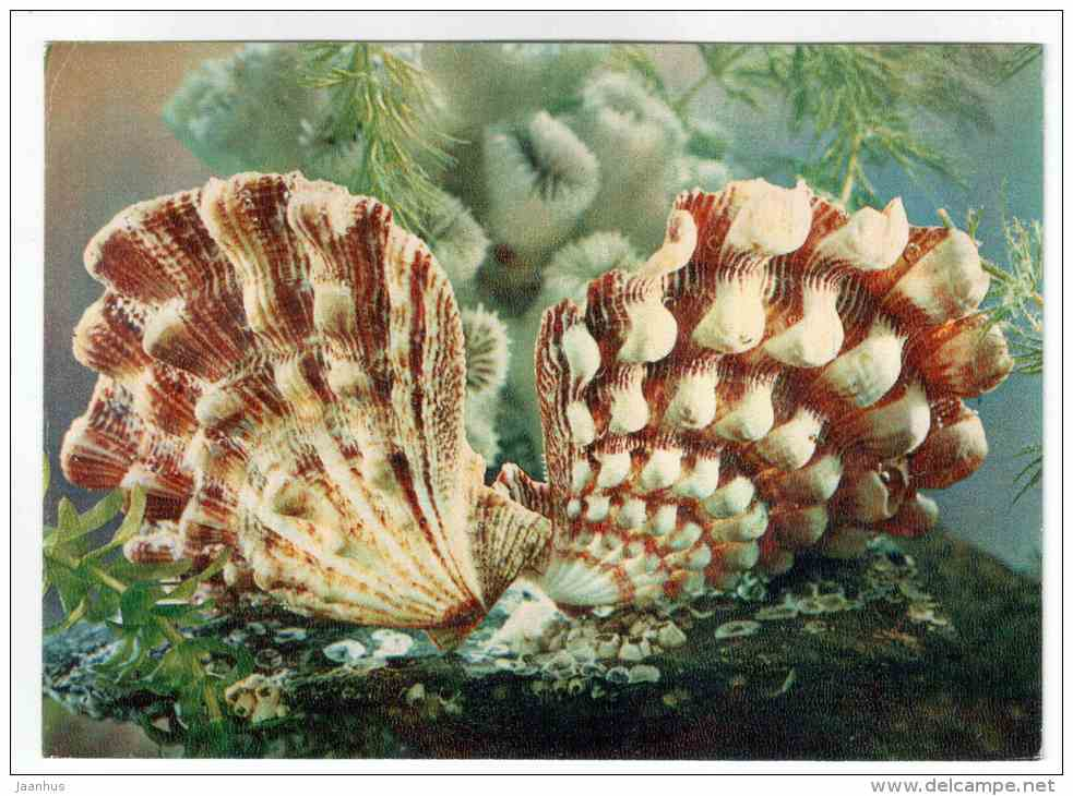 Lyropecten nodosus - shells - clams - mollusc - 1974 - Russia USSR - unused - JH Postcards