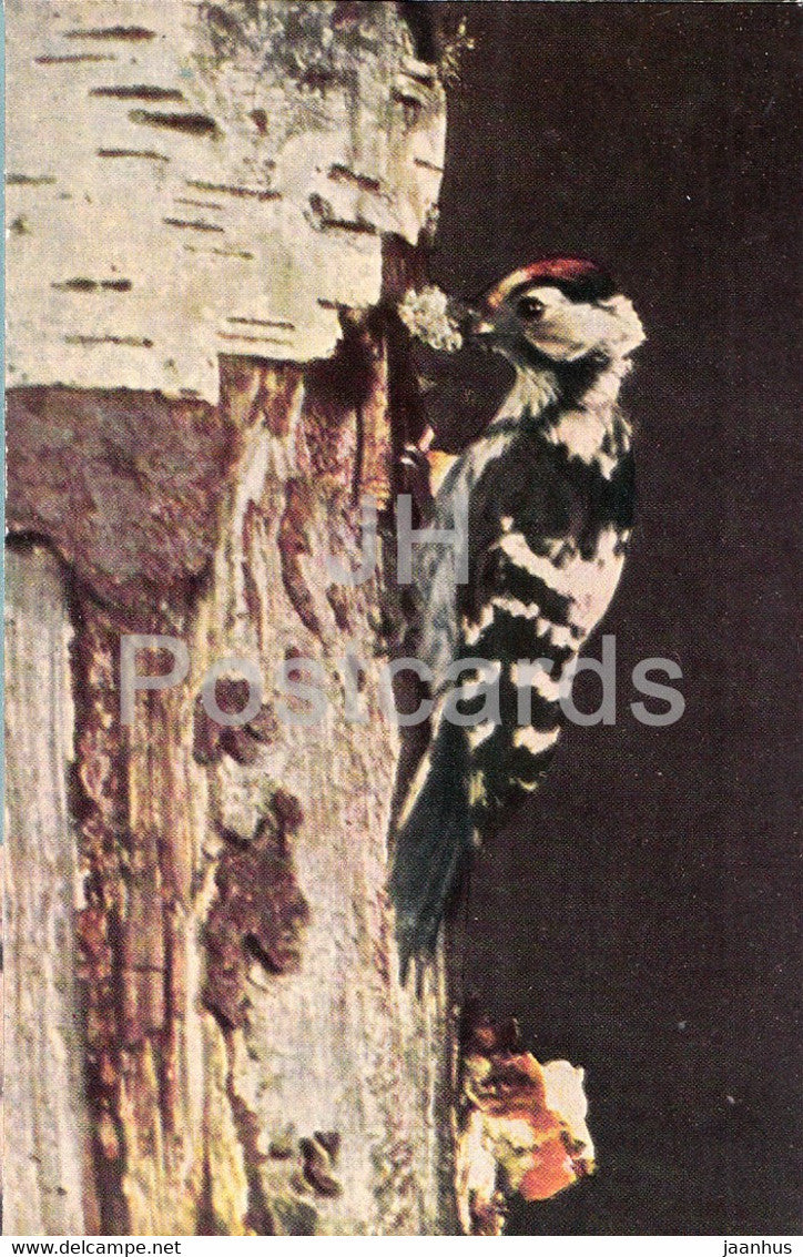 Lesser spotted woodpecker - Dendrocopos minor - birds - 1968 - Russia USSR - unused - JH Postcards