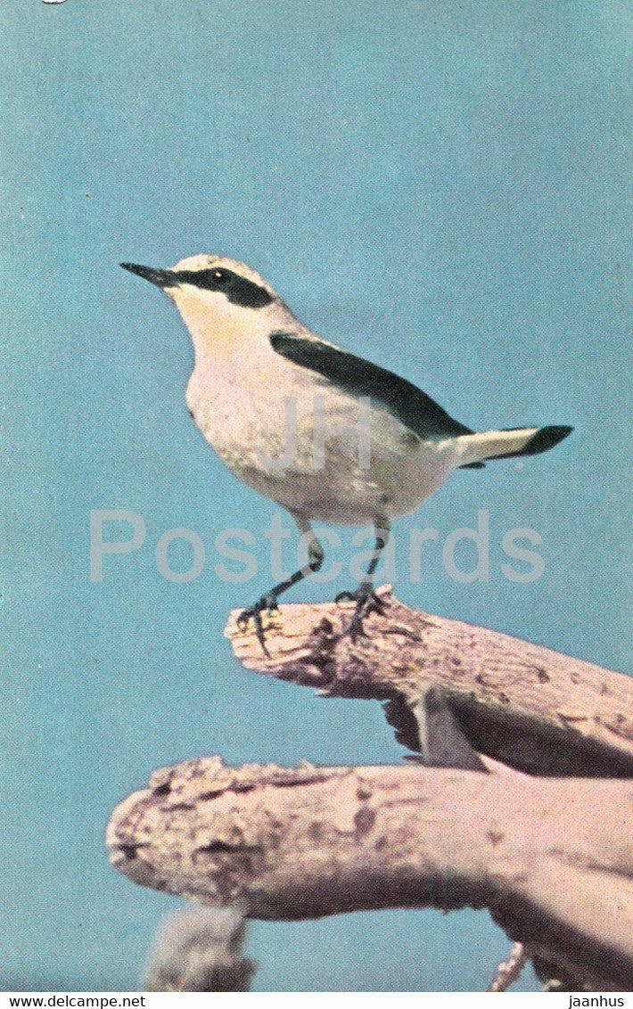 Northern wheatear - Oenanthe oenanthe - birds - 1968 - Russia USSR - unused - JH Postcards
