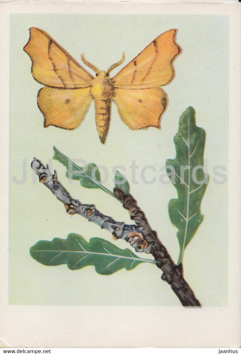 Latalec Nadobnik - Ennomos erosaria - moth - insects - illustration - Poland - unused - JH Postcards
