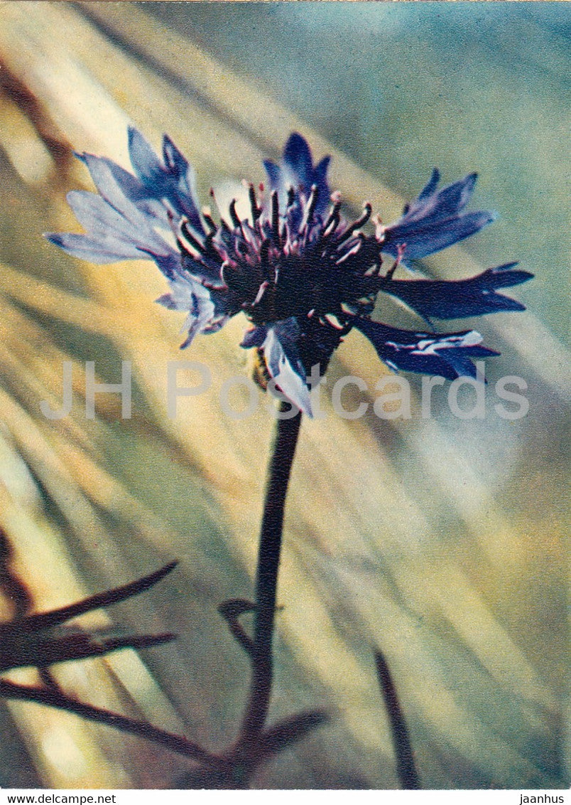 Cornflower - Centaurea cyanus - plants - flowers - 1971 - Russia USSR - unused - JH Postcards