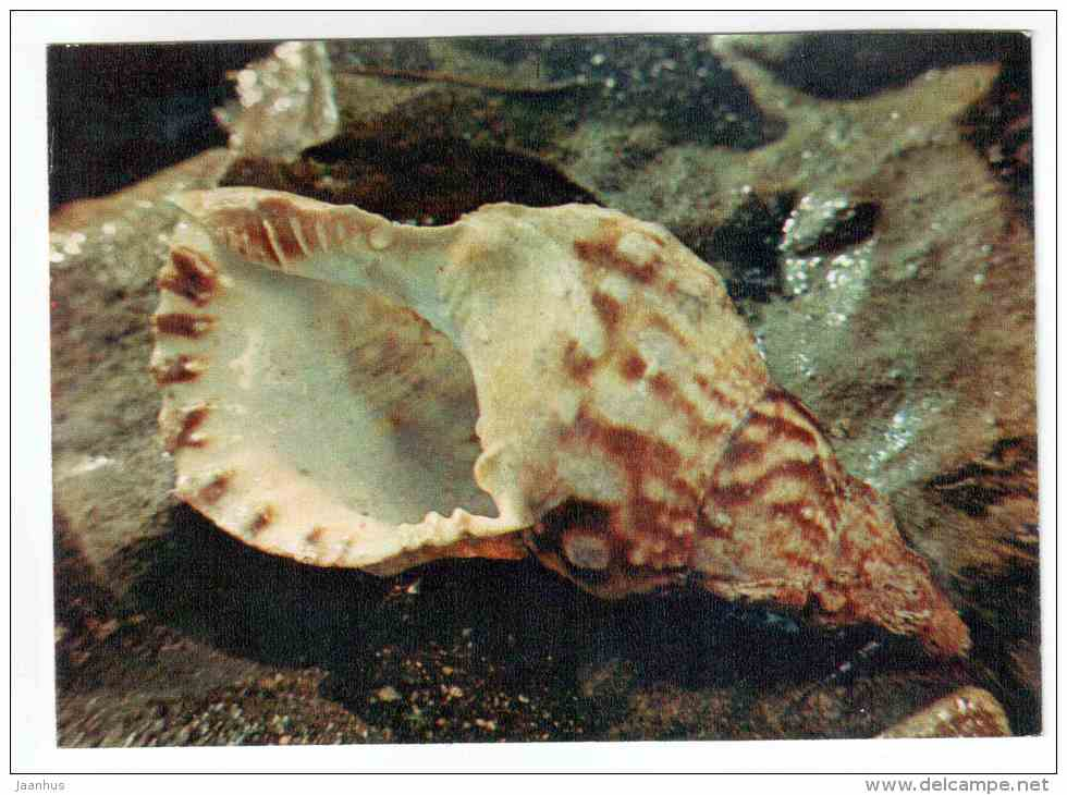 Triton´s trumpet - Charonia tritonis - shells - clams - mollusc - 1974 - Russia USSR - unused - JH Postcards