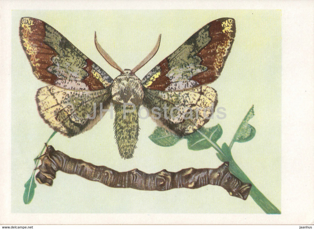 Krepak nawierzbek - Oak beauty - Biston strataria - moth - insects - illustration - Poland - unused - JH Postcards