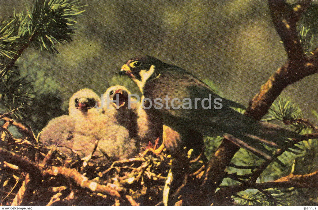 Eurasian hobby - Falco subbuteo - birds - 1968 - Russia USSR - unused - JH Postcards