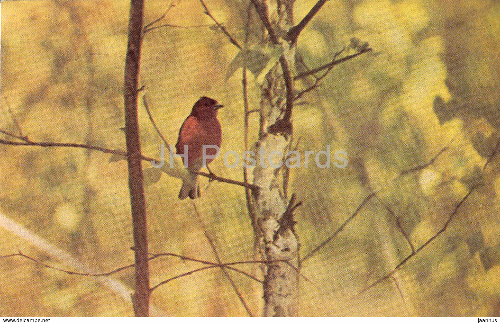 Common chaffinch - Fringilla coelebs - birds - 1968 - Russia USSR - unused - JH Postcards
