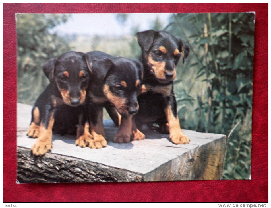 dog puppies - dogs - Yugoslavia - used - JH Postcards