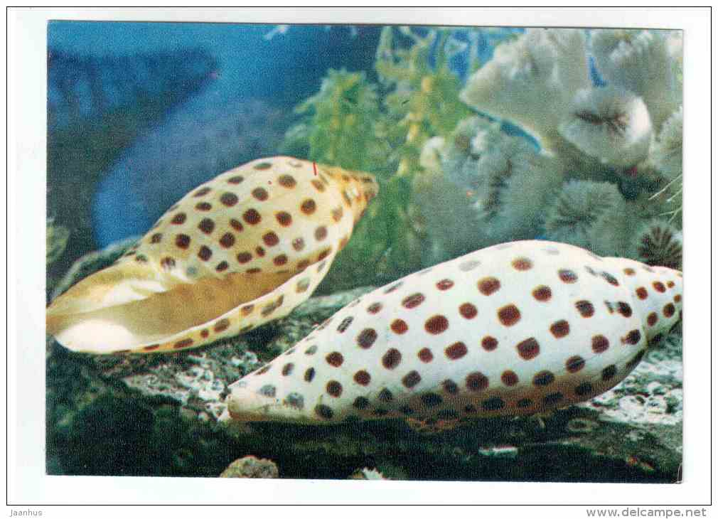 Juno´s volute - Scaphella junonia - shells - clams - mollusc - 1974 - Russia USSR - unused - JH Postcards
