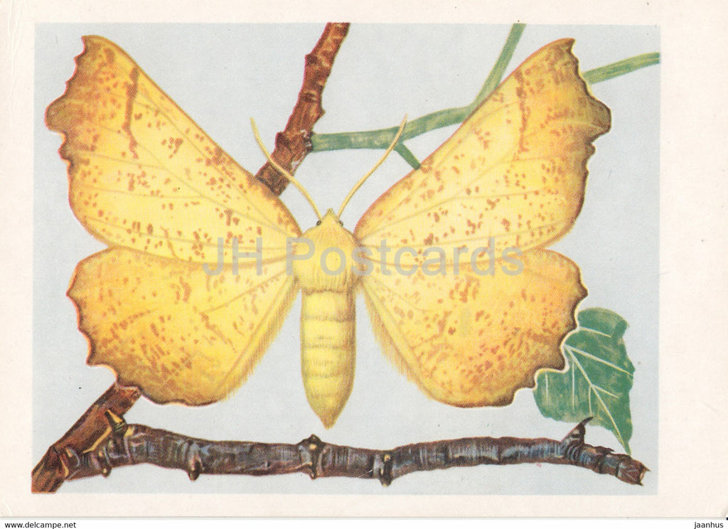 Latalec jesieniak - The Large Thorn - Ennomos autumnaria - moth - insects - illustration - Poland - unused - JH Postcards