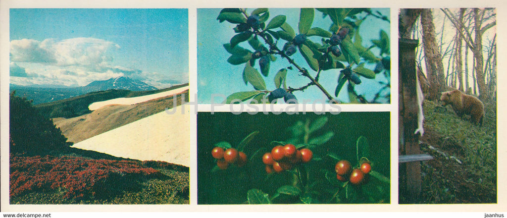 Kronotsky Nature Reserve - bear - cowberry - blueberry - 1981 - Russia USSR - unused - JH Postcards