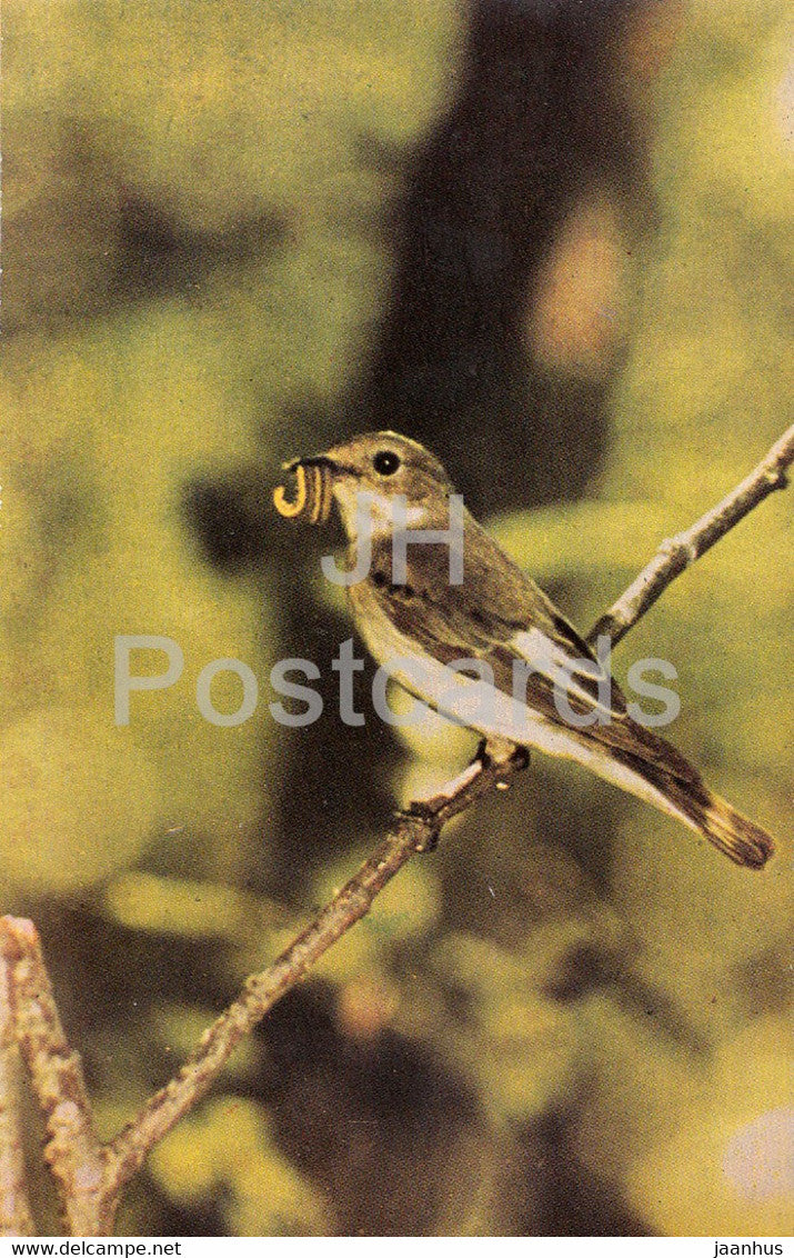 European pied flycatcher - Ficedula hypoleuca - birds - 1968 - Russia USSR - unused - JH Postcards