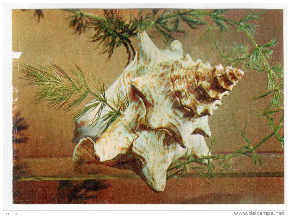 Queen Conch - Strombus gigas - shells - clams - mollusc - 1974 - Russia USSR - unused - JH Postcards