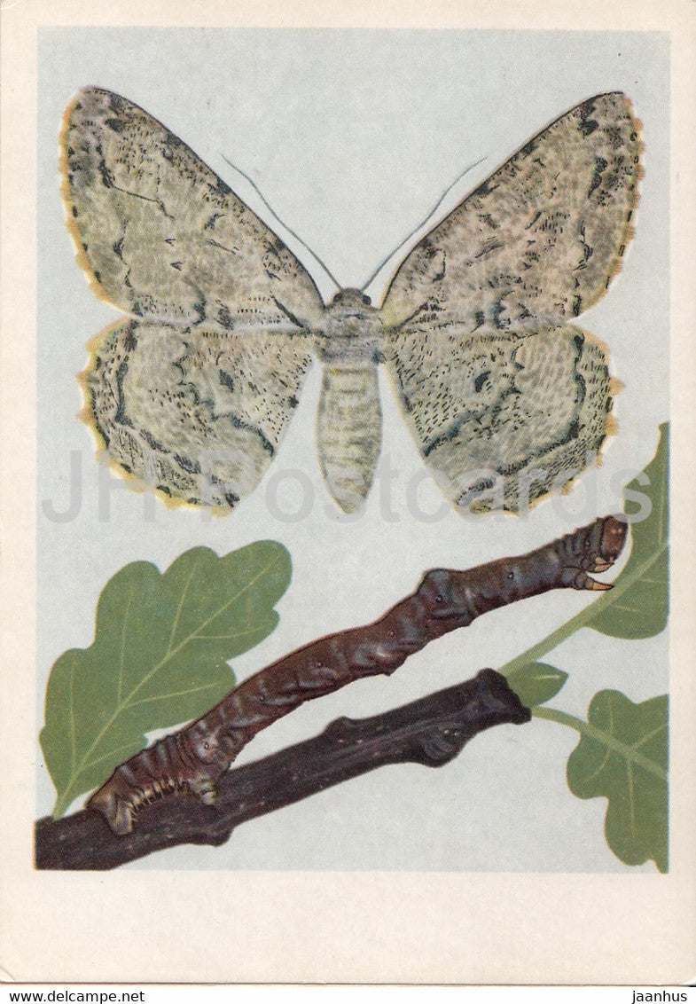 Przylepek nadebek - Hypomecis roboraria - Boarmia roboraria - moth - insects - illustration - Poland - unused - JH Postcards