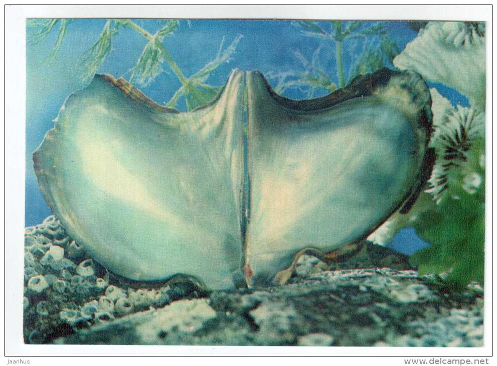 Winged oyster - Pteria - shells - clams - mollusc - 1974 - Russia USSR - unused - JH Postcards