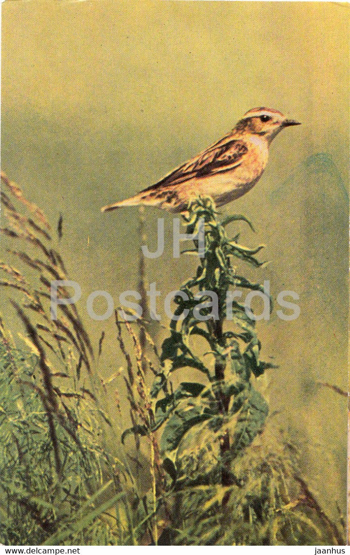 Whinchat - female bird -  Saxicola rubetra - birds - 1968 - Russia USSR - unused - JH Postcards