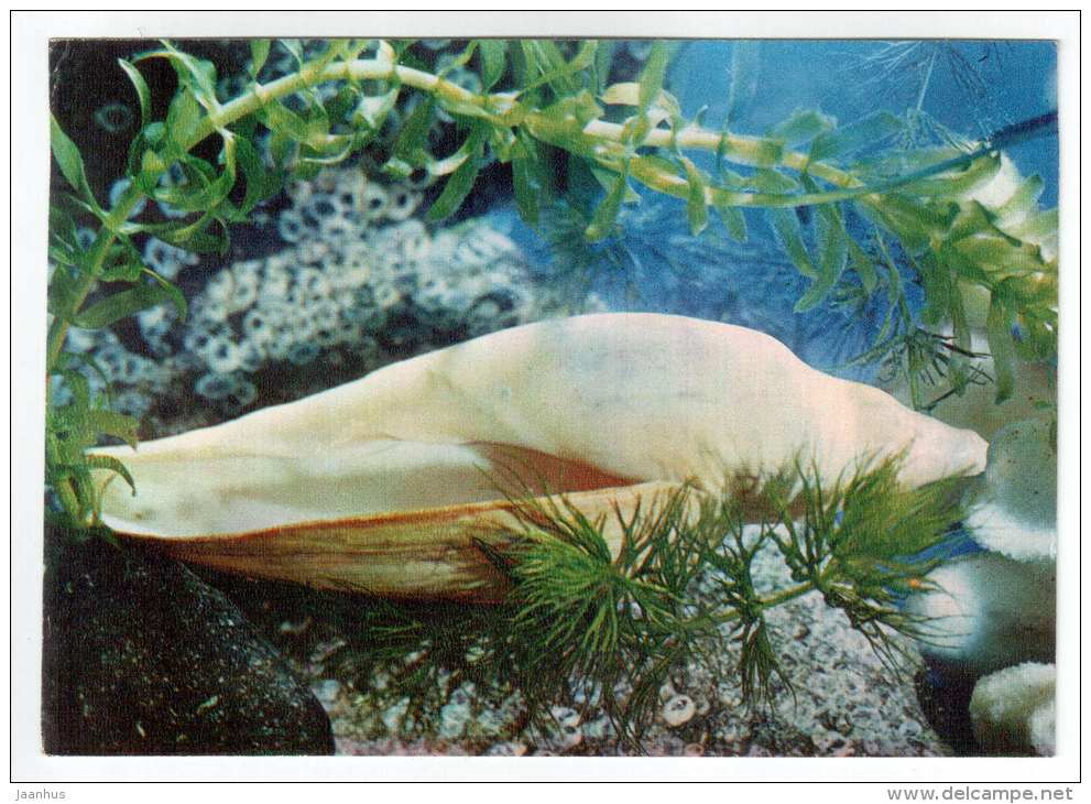 Volute - shells - clams - mollusc - 1974 - Russia USSR - unused - JH Postcards