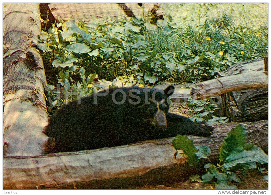 Spectacled bear - Tremarctos ornatus - Moscow Zoo - 1982 - Russia USSR - unused - JH Postcards