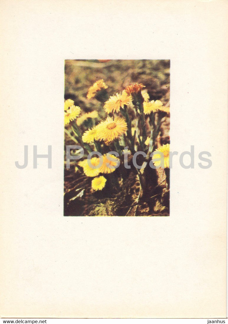 Coltsfoot - Tussilago farfara - plants - Latvia USSR - unused - JH Postcards
