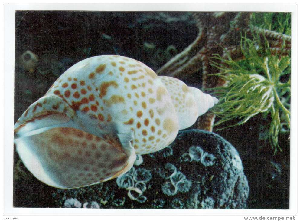 Babilonia punctata - shells - clams - mollusc - 1974 - Russia USSR - unused - JH Postcards